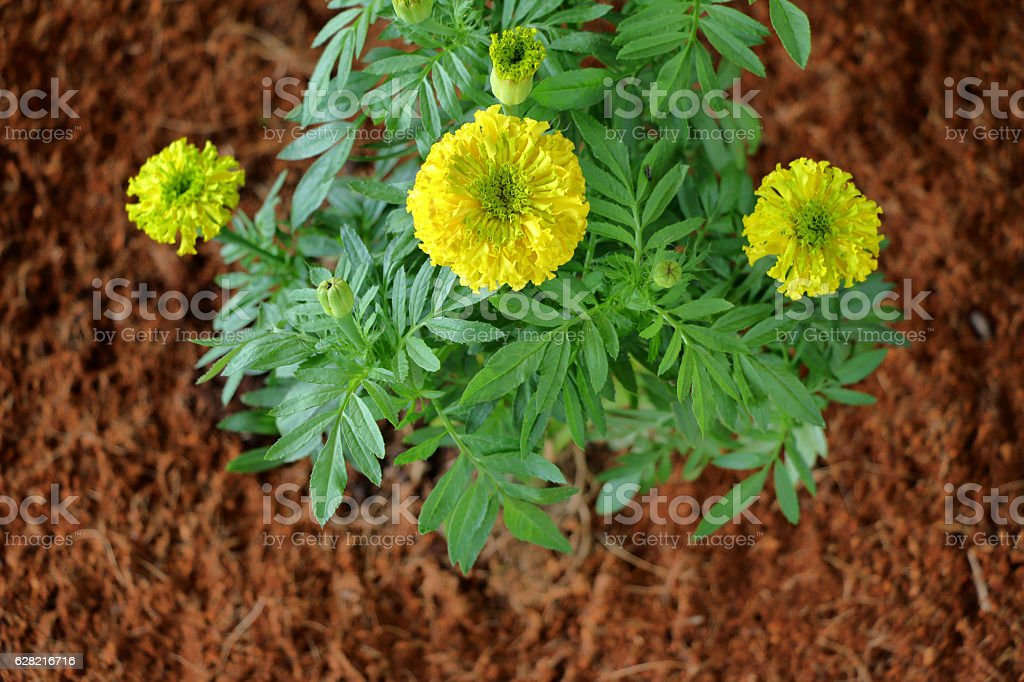 planted marigold flower in the garden stock photo
