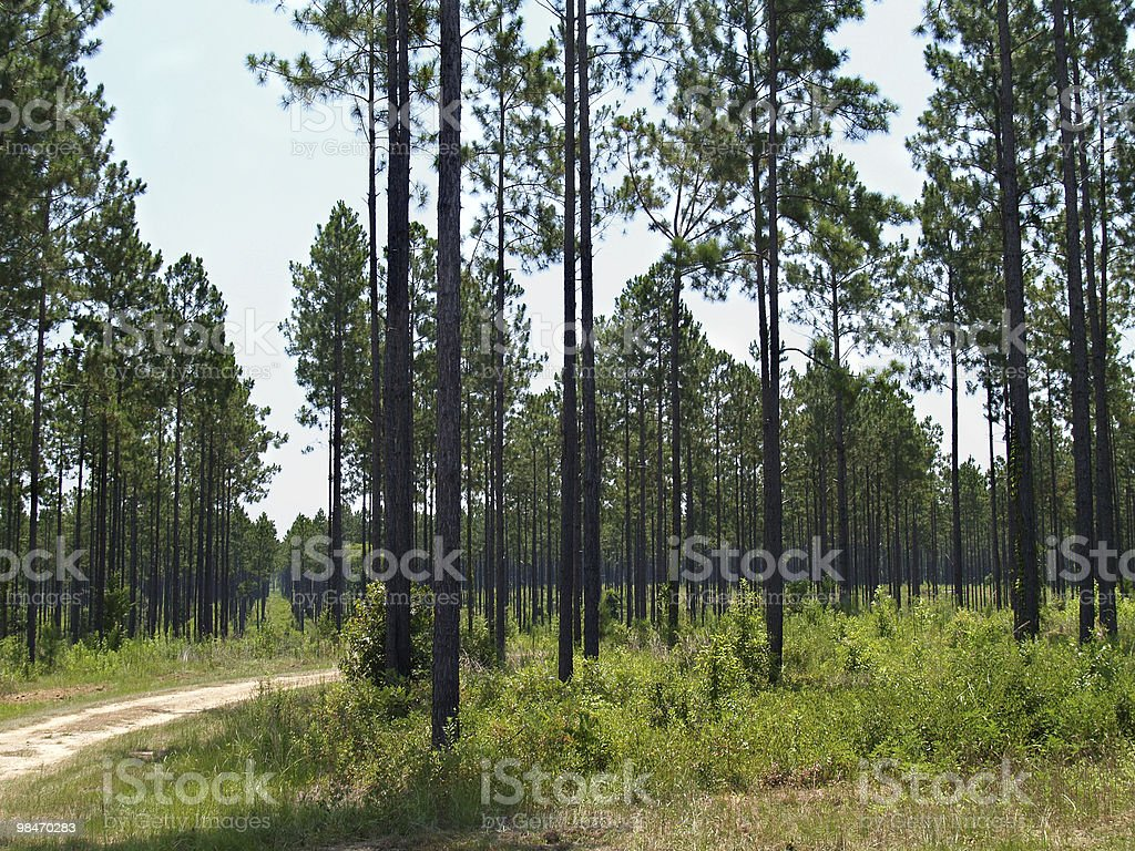 Planted Pine Forest in South Georgia stock photo