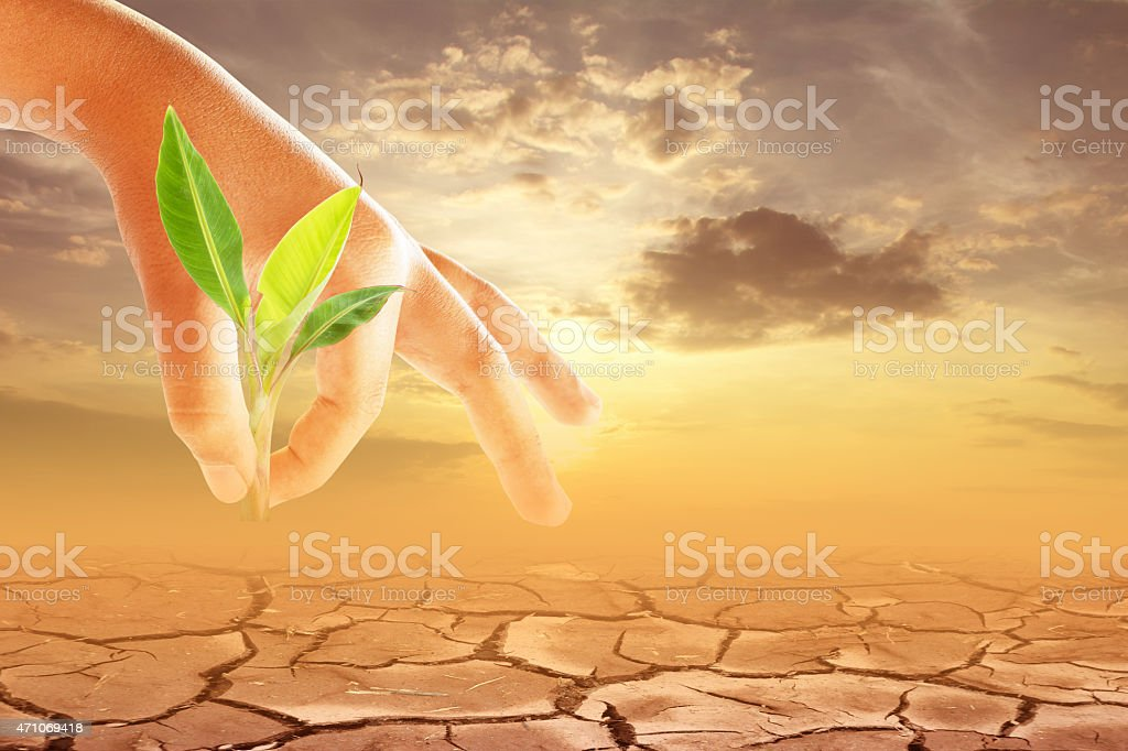 planting a banana tree  in drought stock photo
