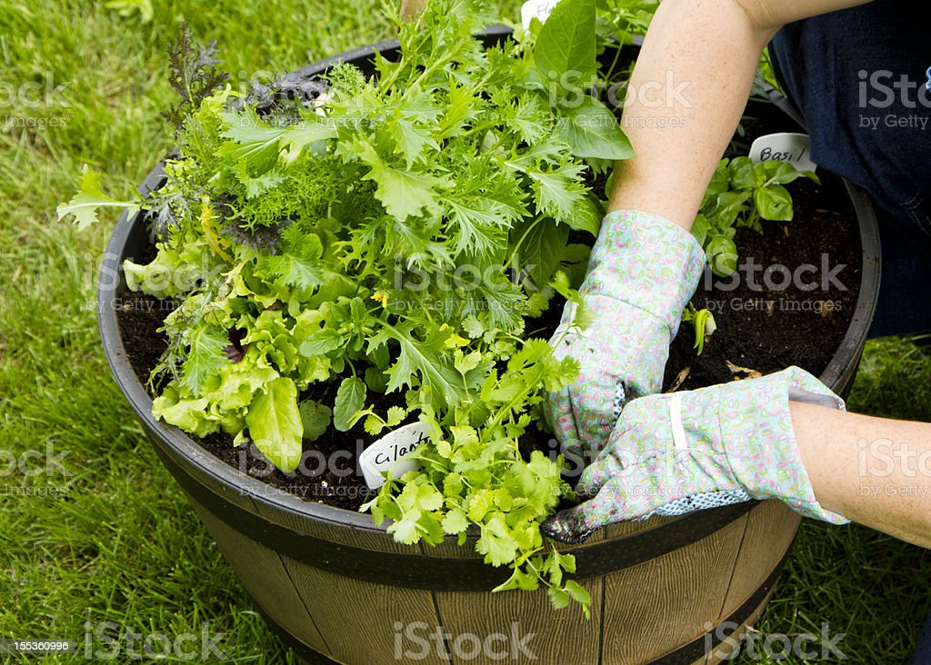 Planting A Container Garden Filled With Salad Greens and Herbs stock photo