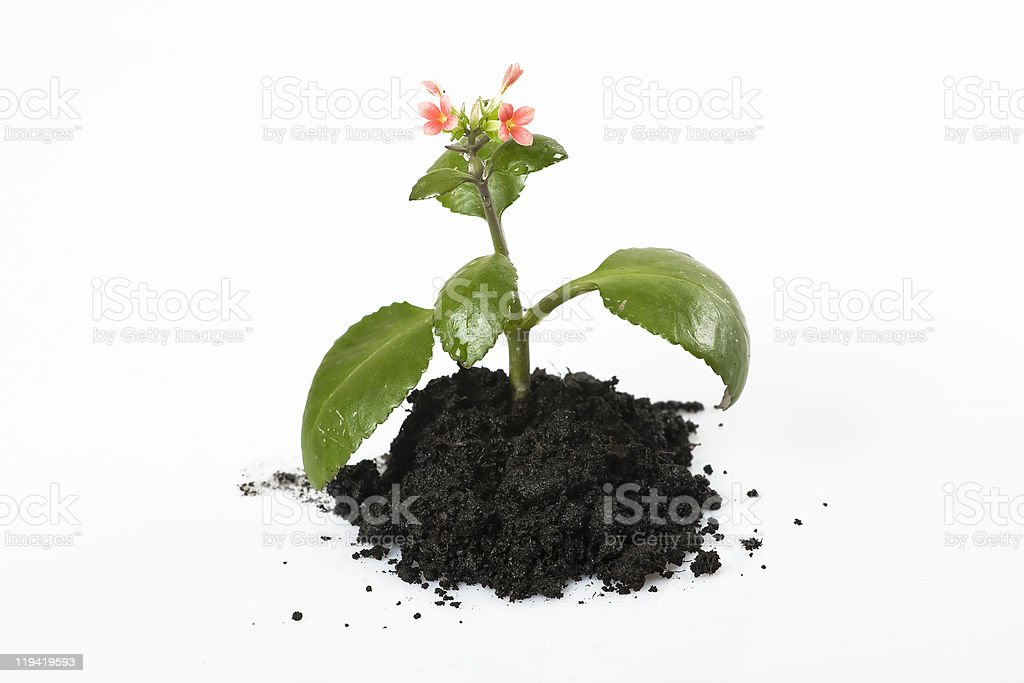 Planting a flower royalty-free stock photo