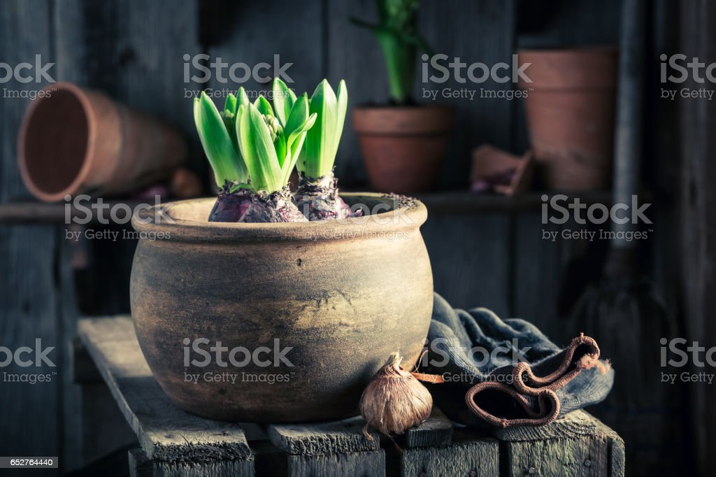 Planting a green crocus in an old wooden workshop stock photo