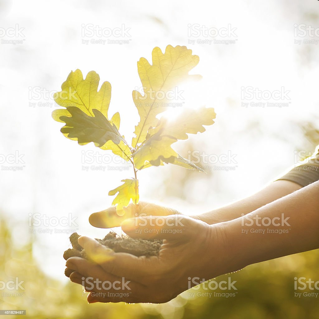 Planting a new oak tree stock photo
