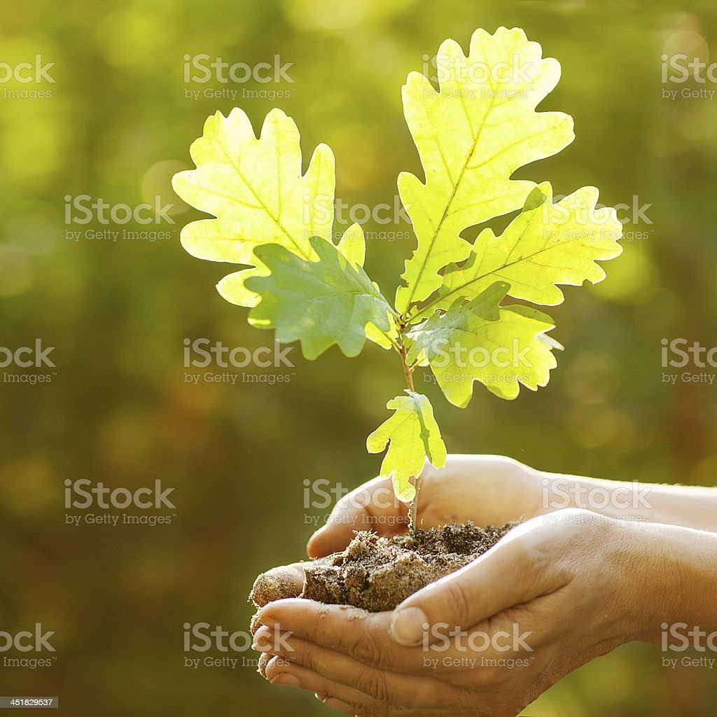 Planting a new oak tree royalty-free stock photo