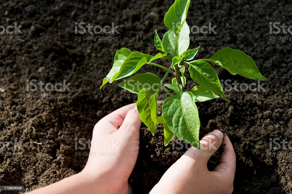 Planting a seedling in dark brown dirt royalty-free stock photo
