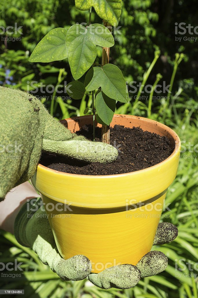 Planting a seedling stock photo
