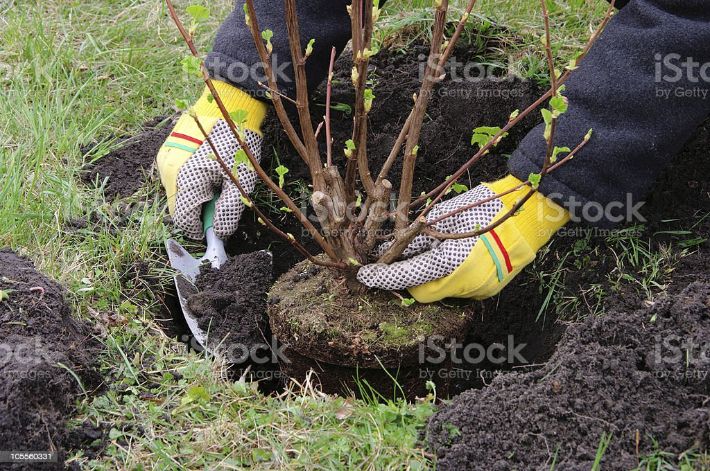 planting a shrub stock photo