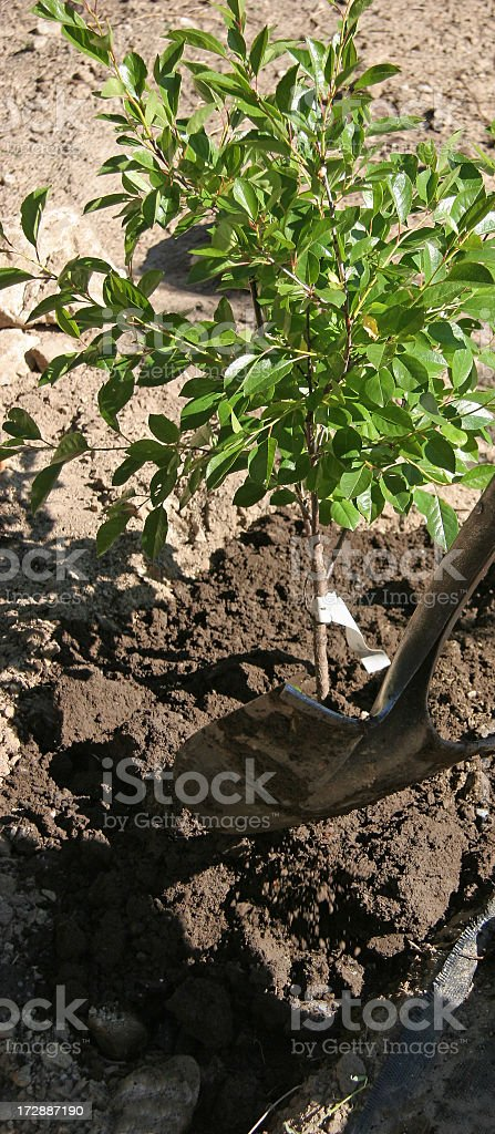 Planting A Small Dwarf Cherry Tree royalty-free stock photo