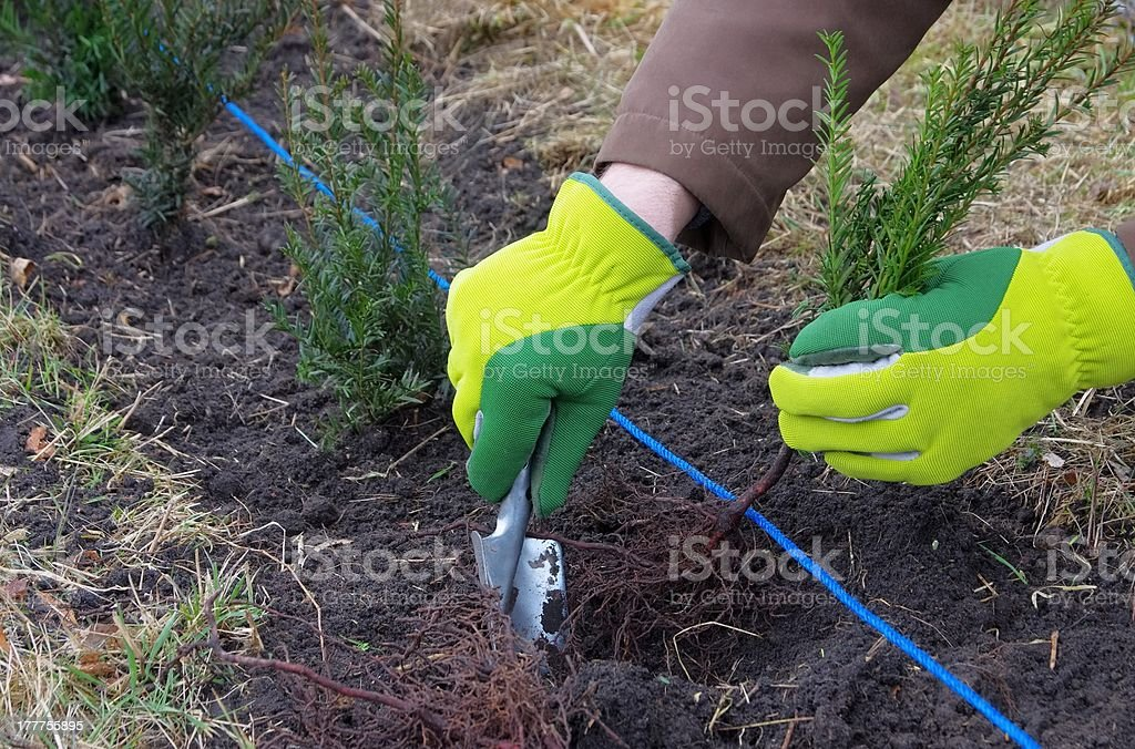 planting a taxus hedge royalty-free stock photo