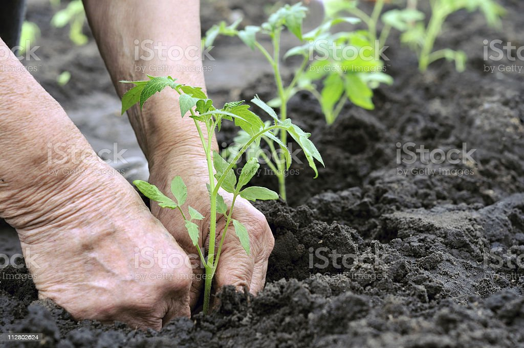 planting a tomatoes seedling stock photo