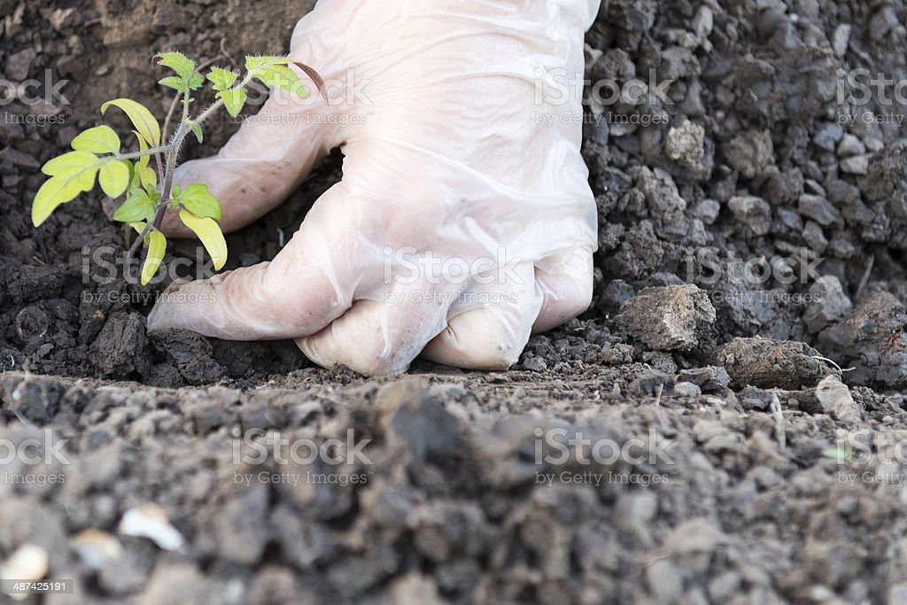 Planting a tomatoes seedling royalty-free stock photo