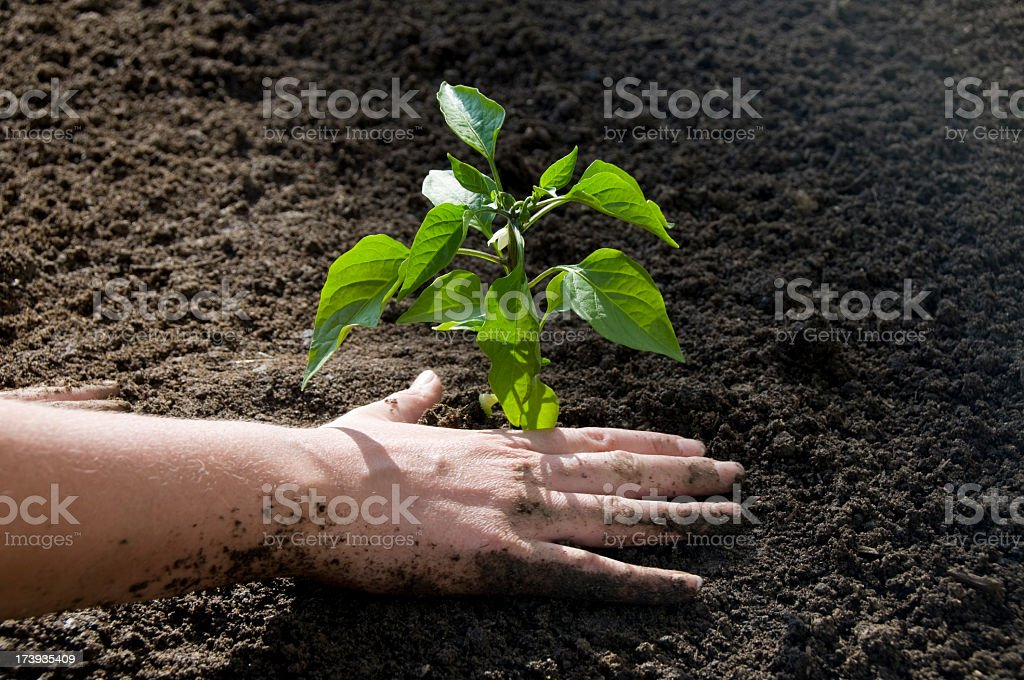 Planting a Vegetable Garden royalty-free stock photo