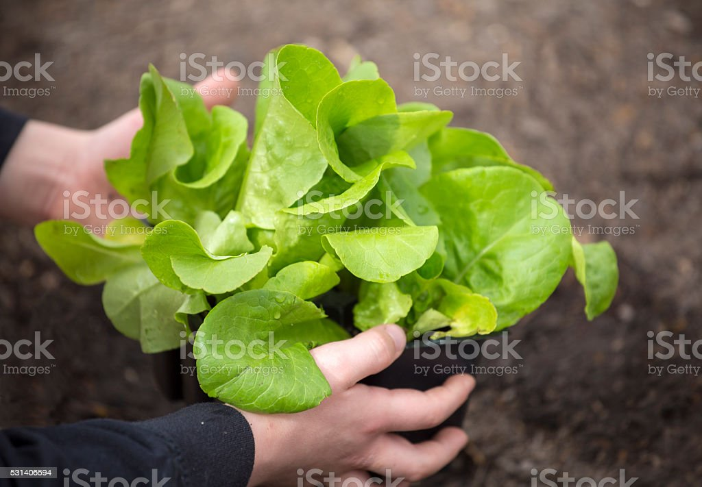 Planting a young lettuce seedling in a vegetable garden stock photo