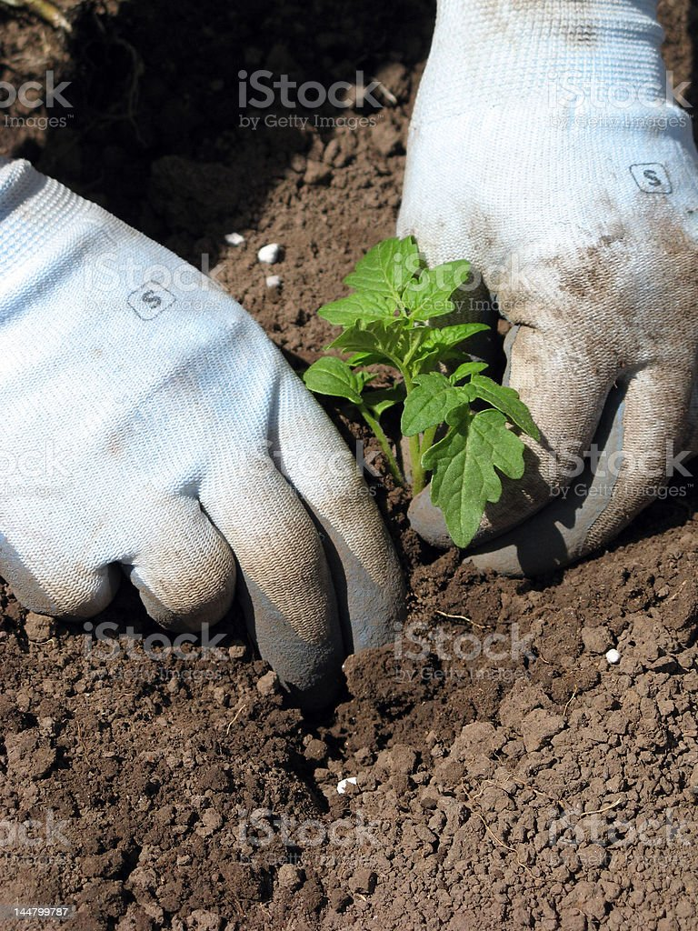Planting a young seedling royalty-free stock photo