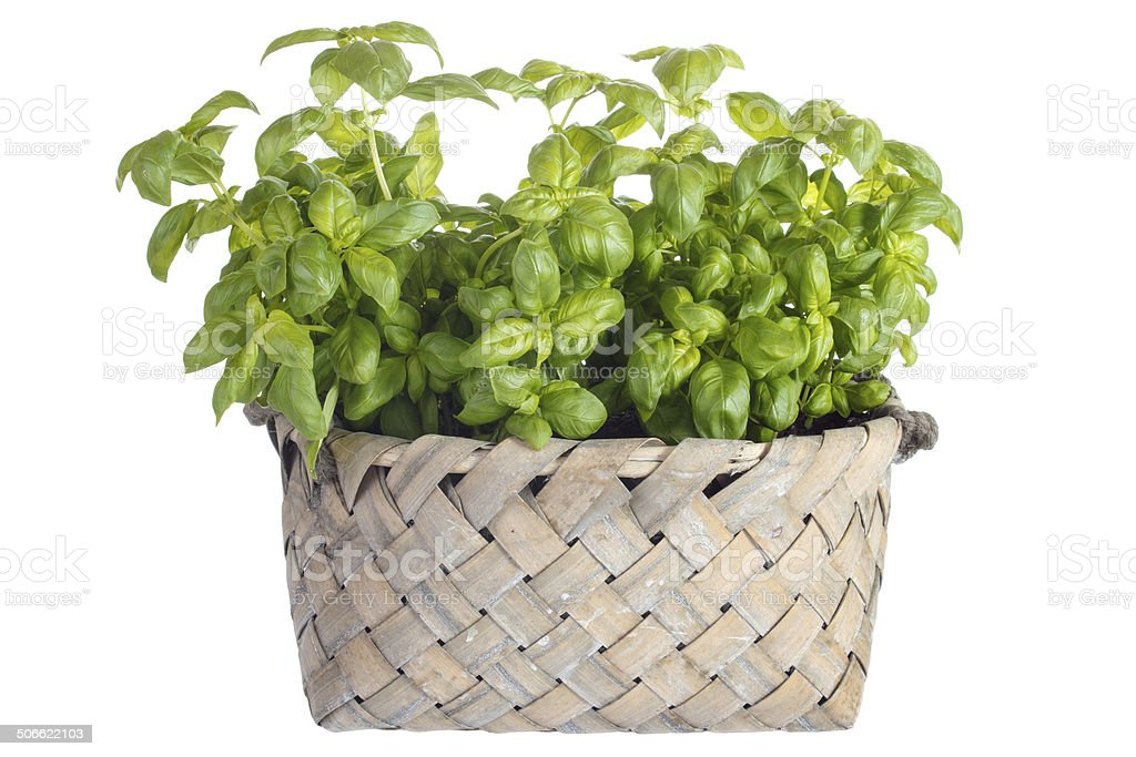 Planting basil royalty-free stock photo