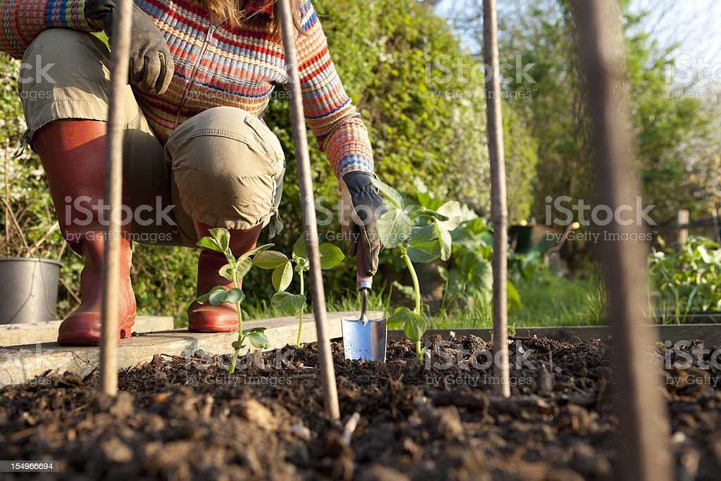 Planting Beans in Vegetable Garden royalty-free stock photo