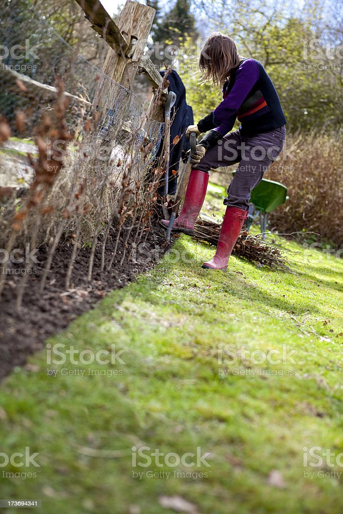 Planting Beech Hedgerow royalty-free stock photo