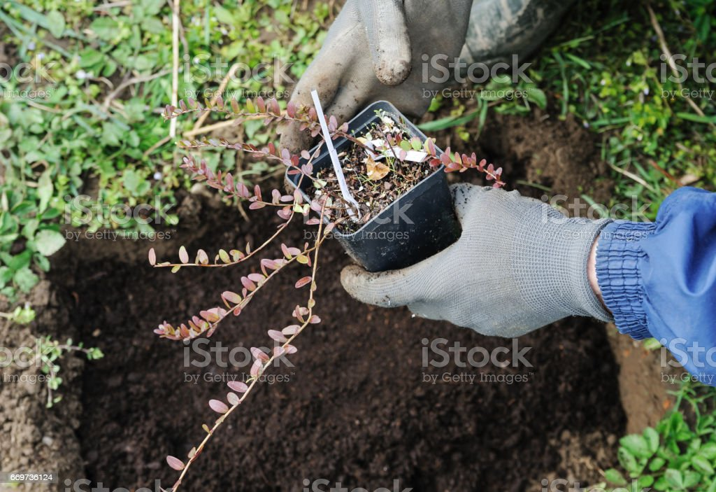 Planting berry bushes. stock photo