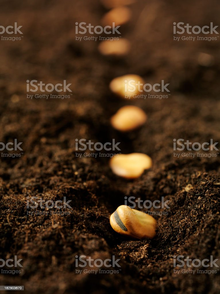 Planting Broad Beans stock photo