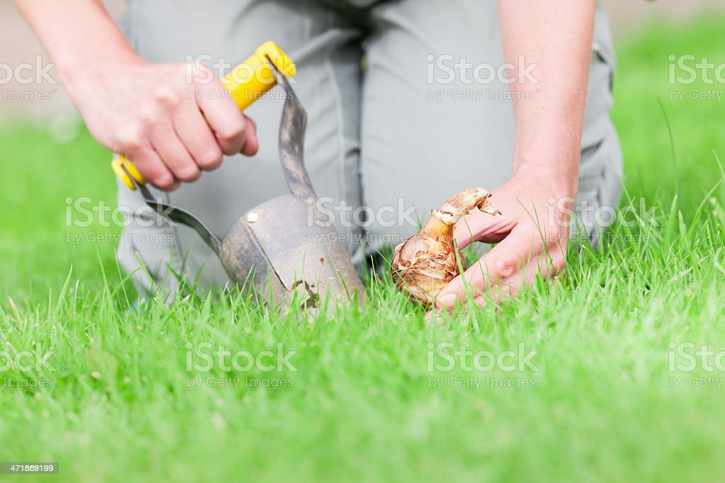 Planting bulbs stock photo