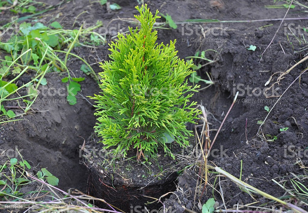 Planting Cypress, Thuja Sapling with Roots (Thuja Occidentalis Golden Brabant) stock photo