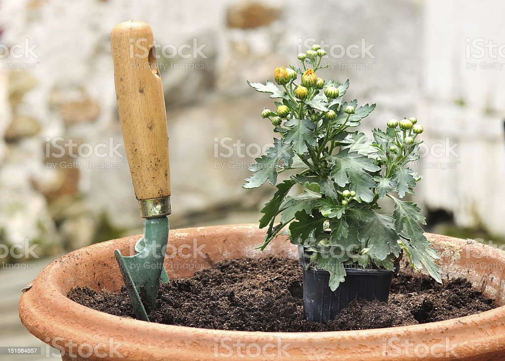 planting daisies in pots stock photo
