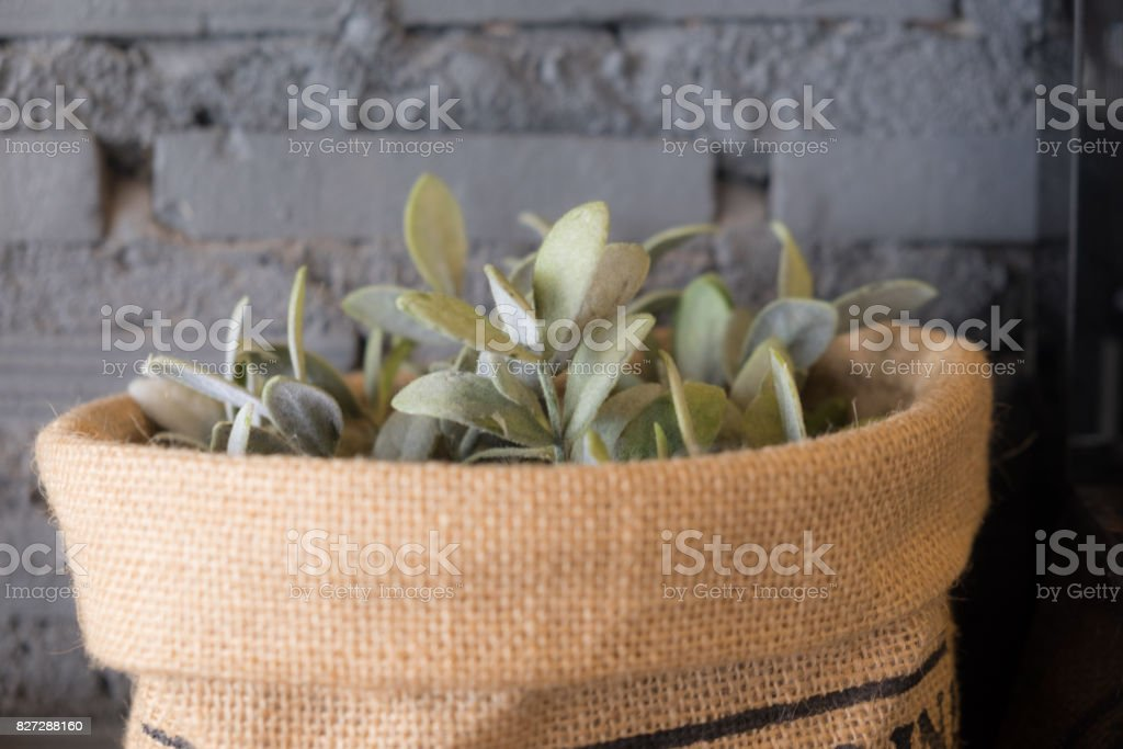 Planting Dave plant house plant in pot  decoration in home stock photo