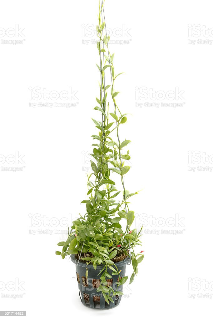 Planting Dave plant,house plant in pot isolate stock photo