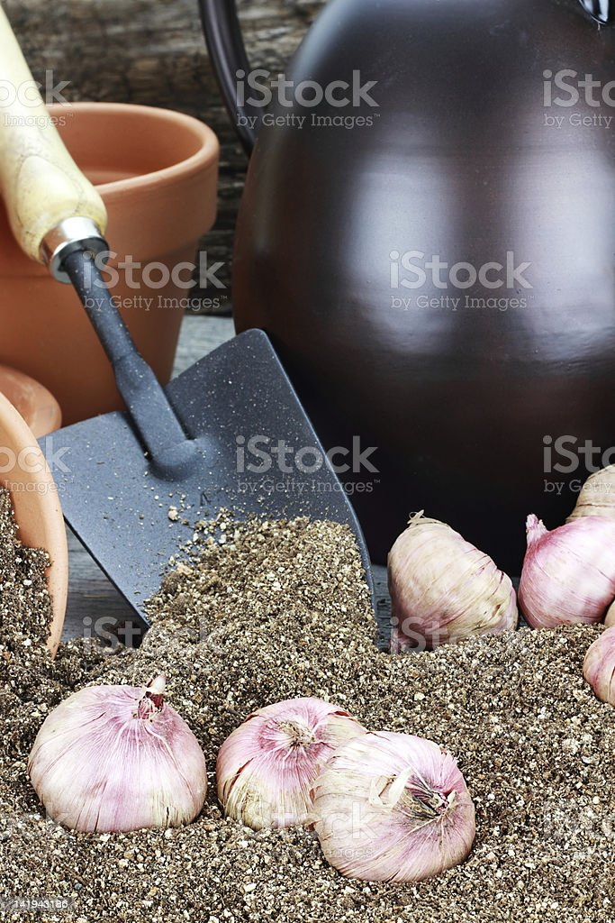 Planting Flower Bulbs royalty-free stock photo
