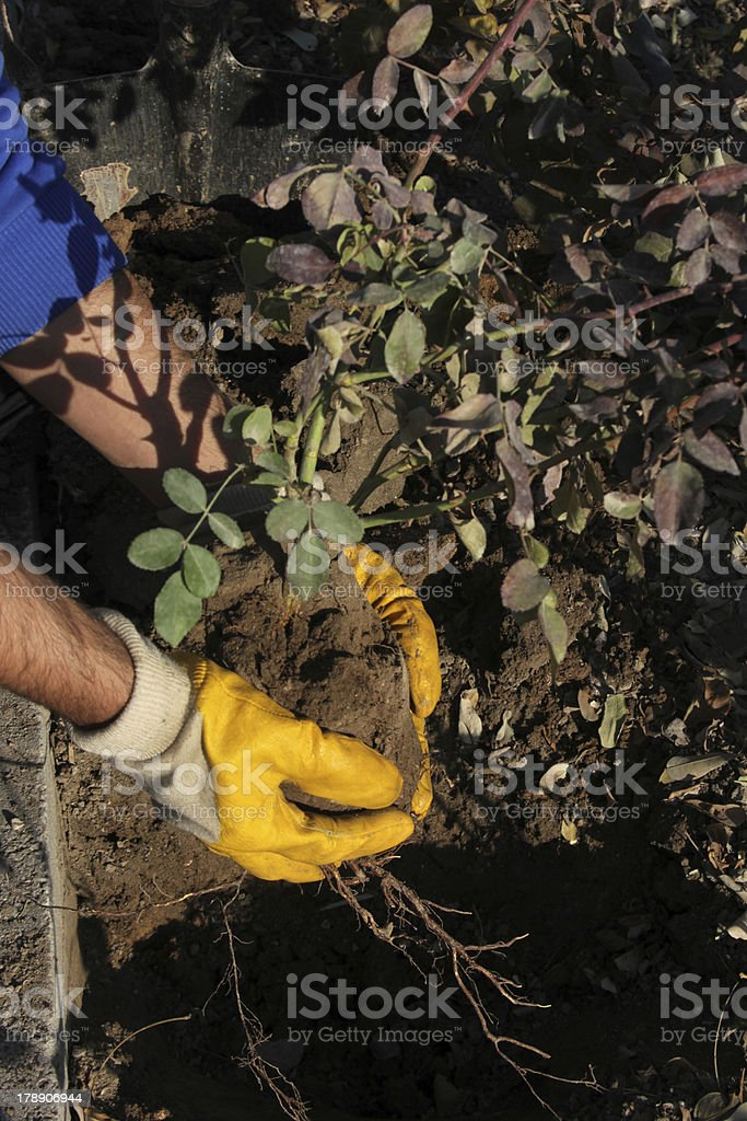 planting flower royalty-free stock photo