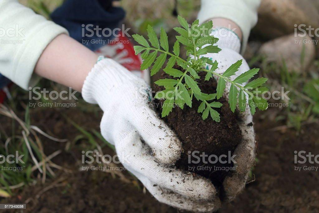 planting flower seedlings, closeup stock photo