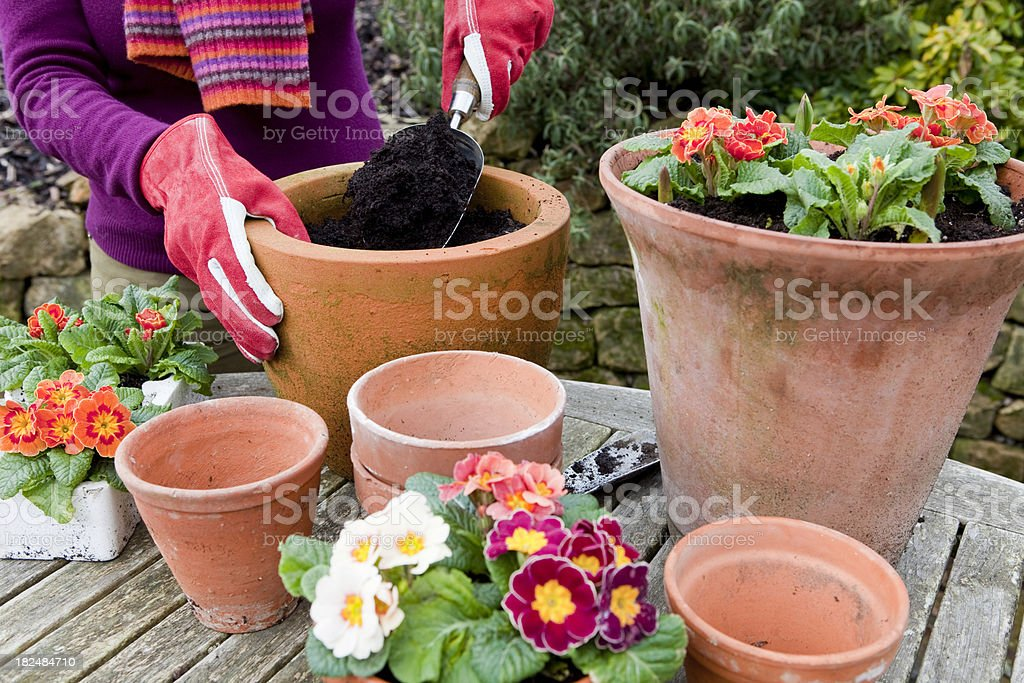 Planting Flowers in Terracotta Pots stock photo