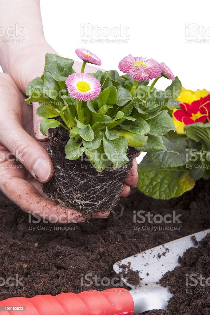 planting flowers royalty-free stock photo