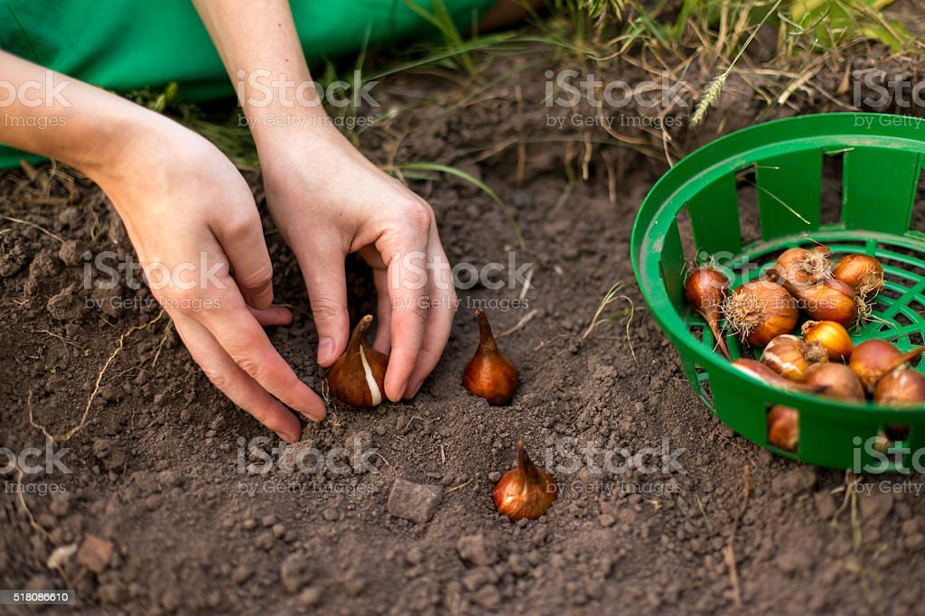 planting flowers stock photo
