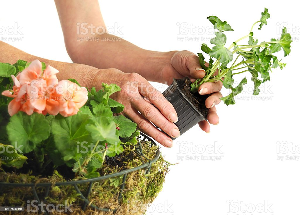Planting Geraniums in a Hanging Basket of Flowers royalty-free stock photo