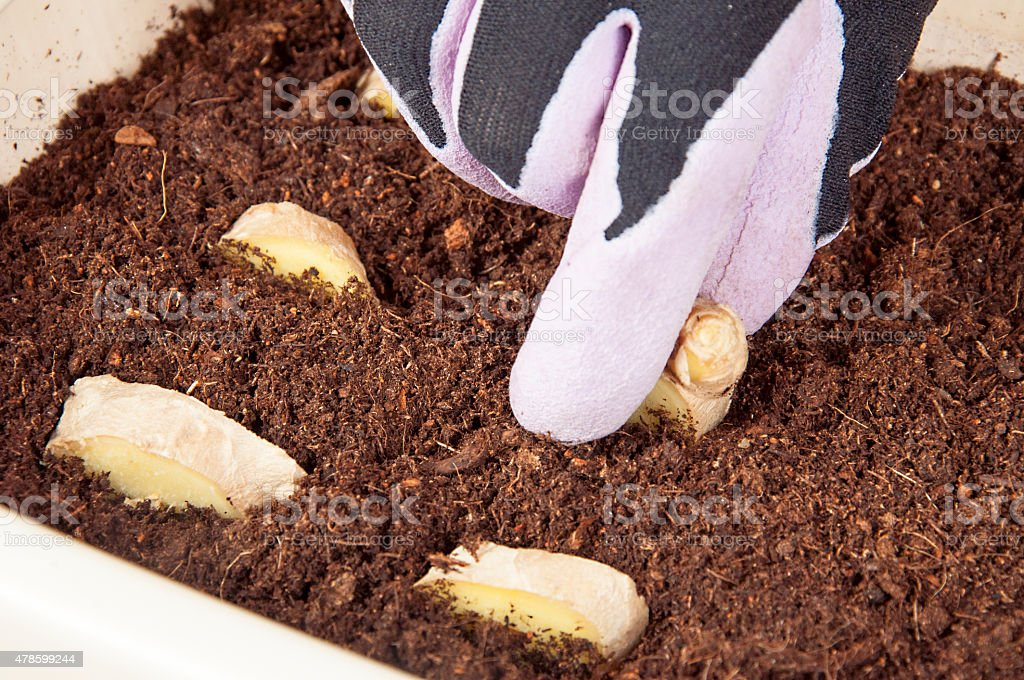planting ginger stock photo