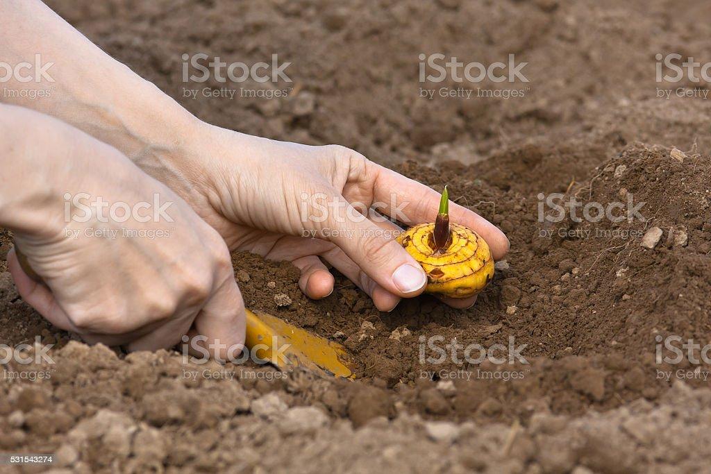 planting gladiolus bulb stock photo