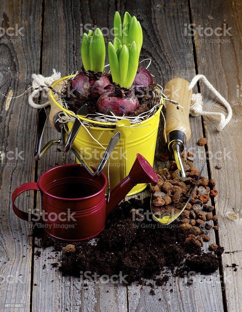 Planting Hyacinth Bulbs royalty-free stock photo