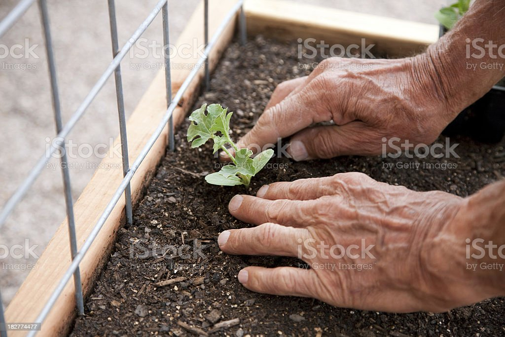 Planting in a Garden Box Series stock photo