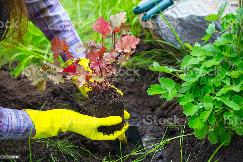 Planting in the garden stock photo