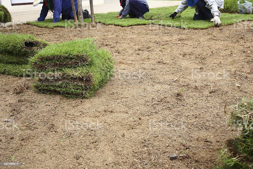planting new sod grass in the garden stock photo