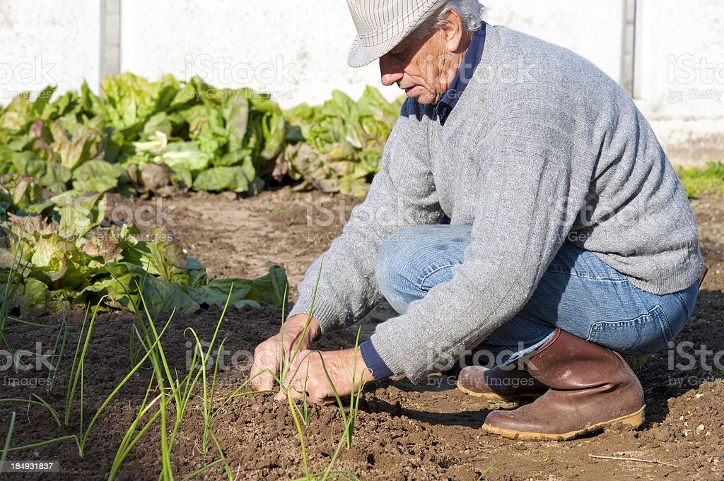 Planting onions royalty-free stock photo