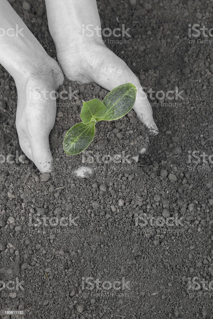 planting Plant in the Dirt stock photo