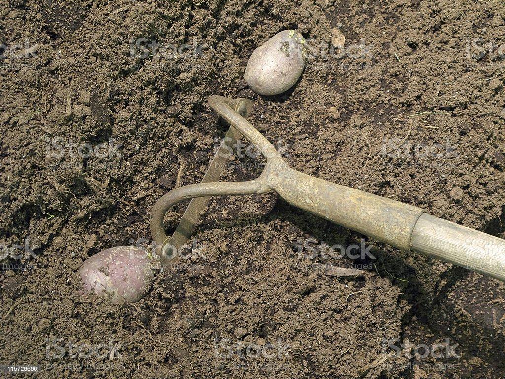 Planting potato royalty-free stock photo