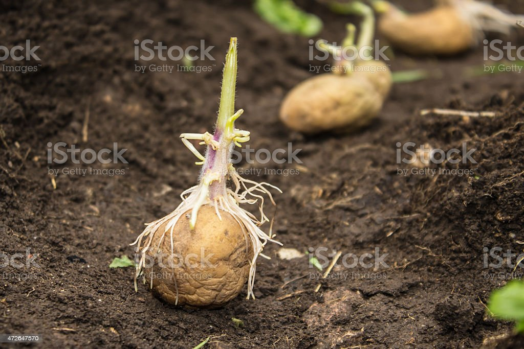 Planting potatoes in the ground stock photo