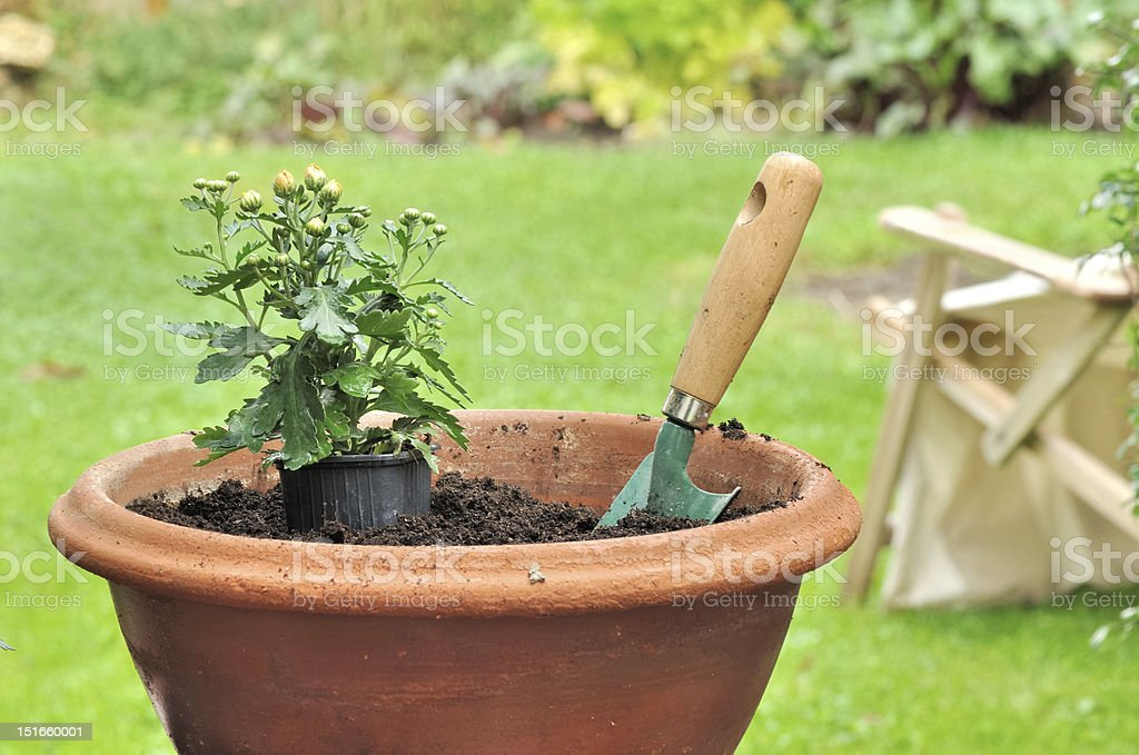 Planting potted daisy stock photo