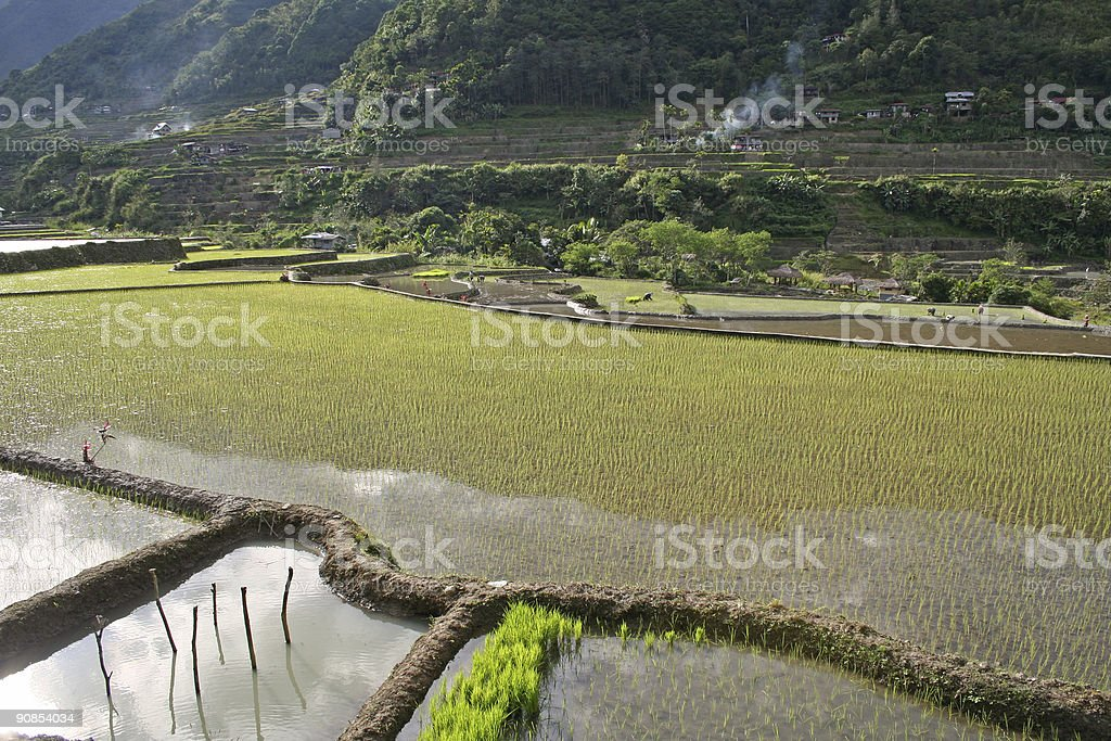 planting rice in the philippines royalty-free stock photo