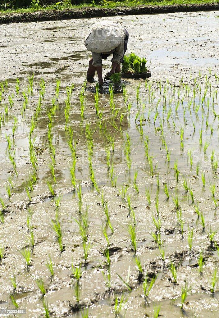 Planting Rice Seedlings royalty-free stock photo