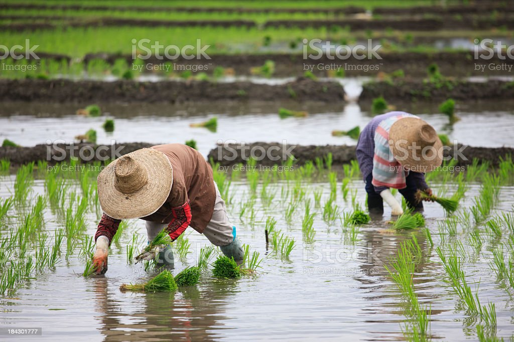 Planting rice seedlings. stock photo