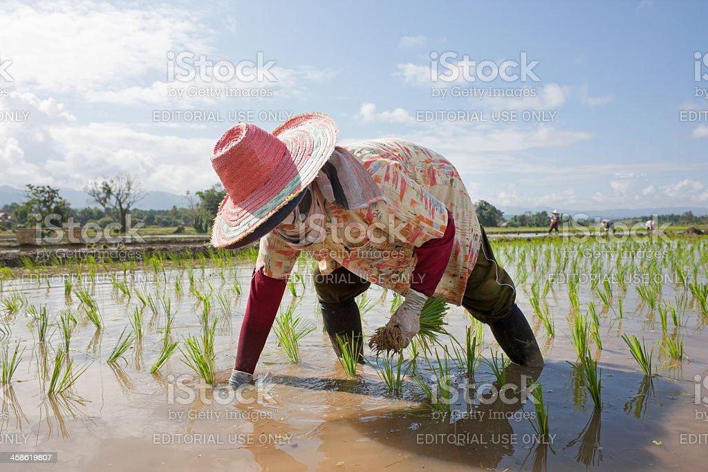 Planting rice seedlings. stock photo